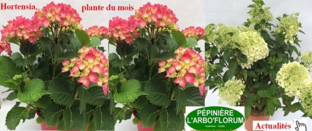 hortensia-plante-du-mois