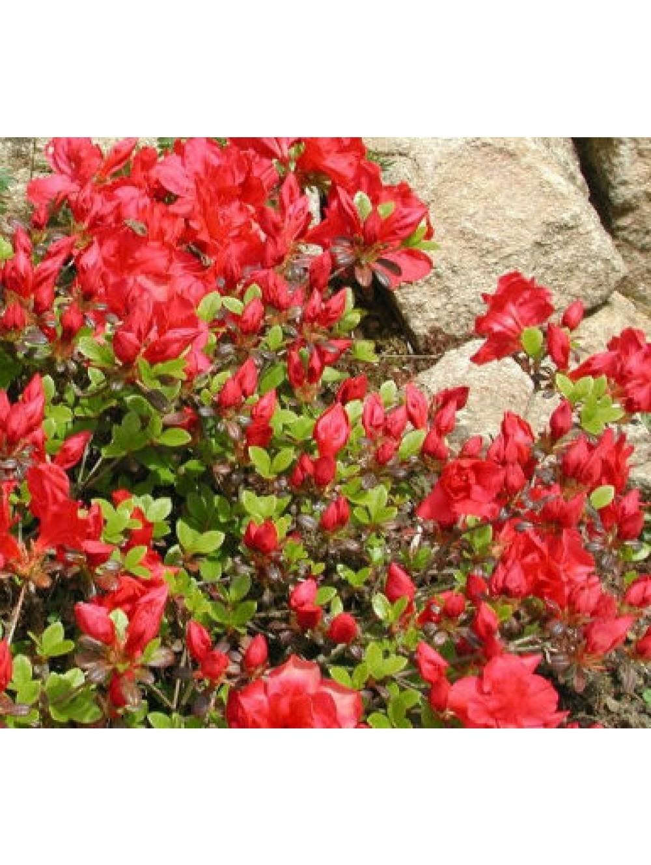 Azalee japonaise c 2l les plantes d 39 ext rieur jardin for Plantes japonaises exterieur