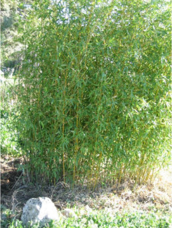 Bambou pot 17cm les plantes d 39 ext rieur jardin for Les plantes exterieur