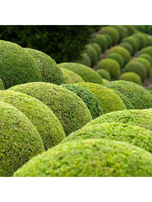 Buis boule pot deco les plantes d 39 ext rieur jardin for Plante exterieur jardin