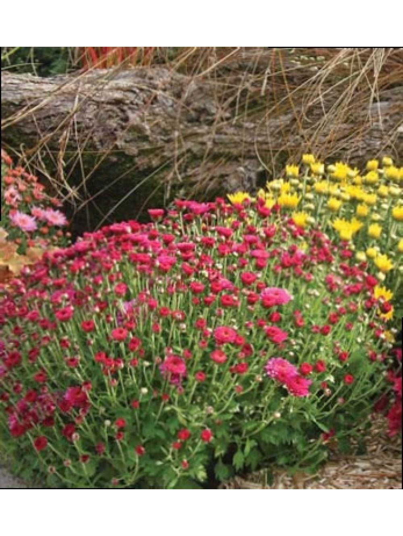 Chrysanth me les plantes d 39 ext rieur jardin for Plante jardin exterieur