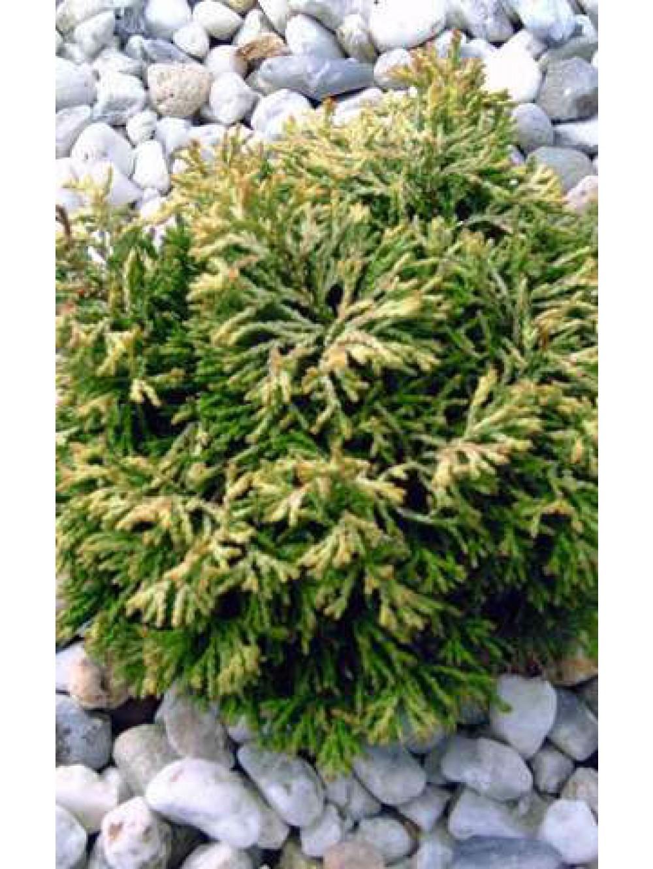 Conifere varie les conif res les plantes d 39 ext rieur for Les plantes exterieur