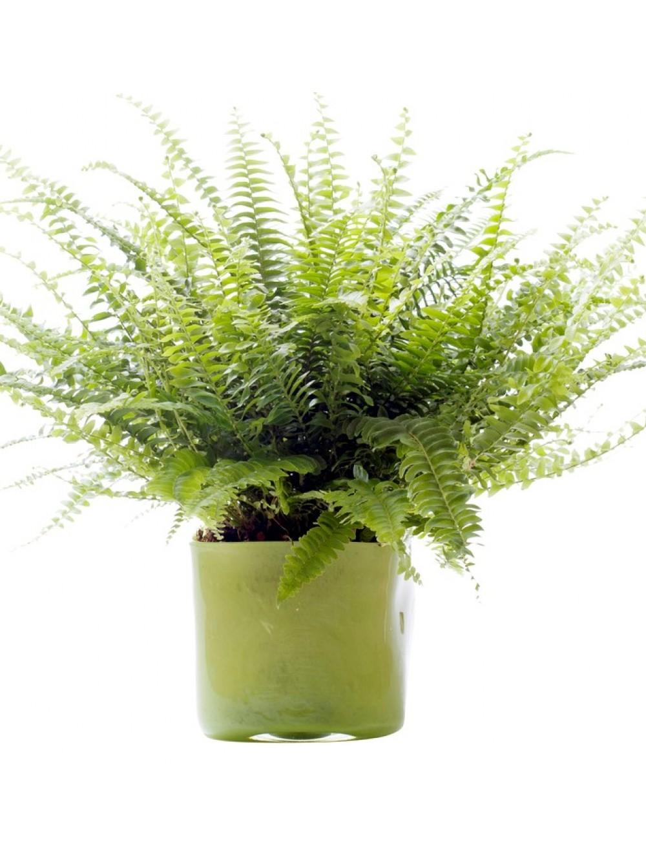 Foug res les plantes vertes les plantes d 39 int rieur maison for Les plantes vertes