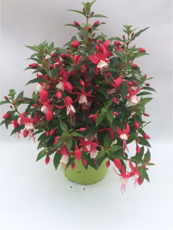 Fuschia Pot 3l Les Plantes D 39 Ext Rieur Jardin