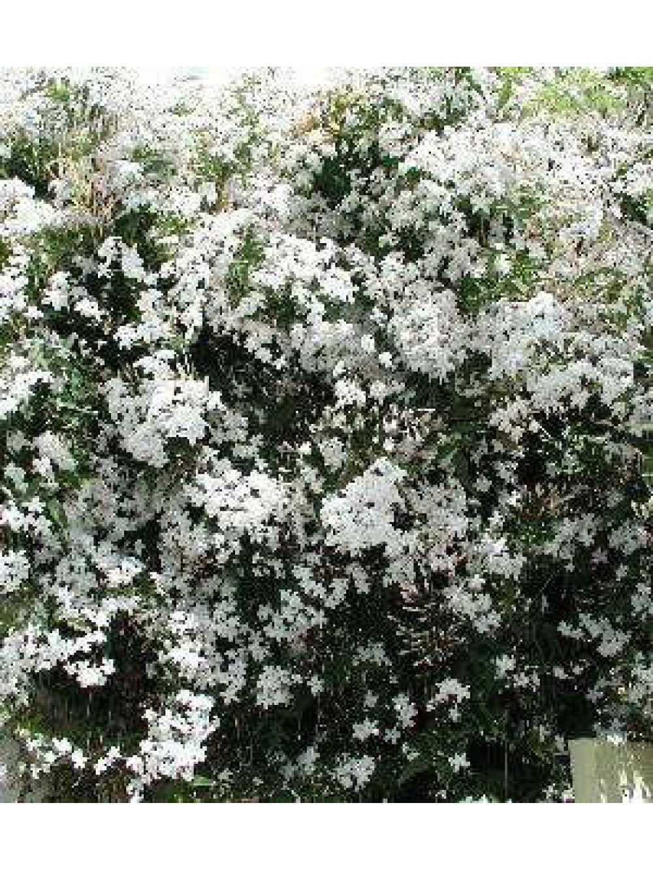 Jasmin persistant - Jasmin blanc d hiver ...
