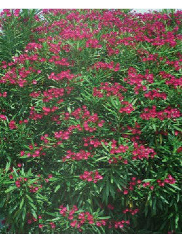 Laurier rose 100 120 les plantes 39 m diterran ennes 39 les plantes d 39 ext rieur jardin for Plante arbuste exterieur