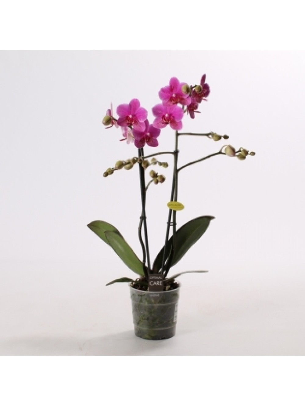 orchidee 3 branches