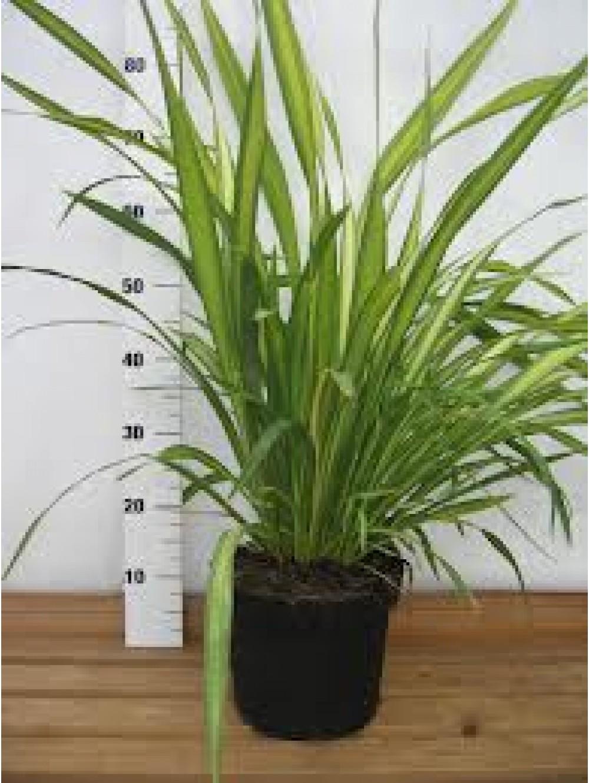 Phormium les plantes 39 m diterran ennes 39 les plantes d for Les plantes exterieur