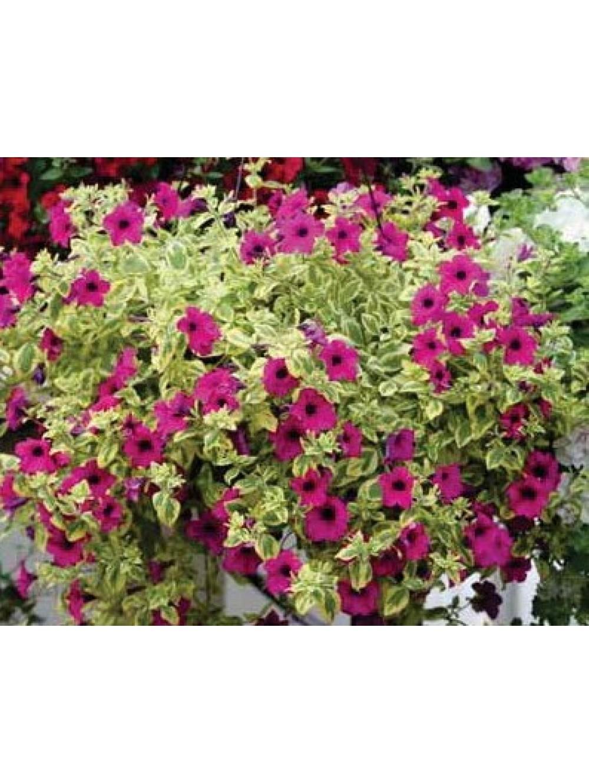 Surfinia c 3l les plantes d 39 ext rieur jardin for Plante exterieur jardin