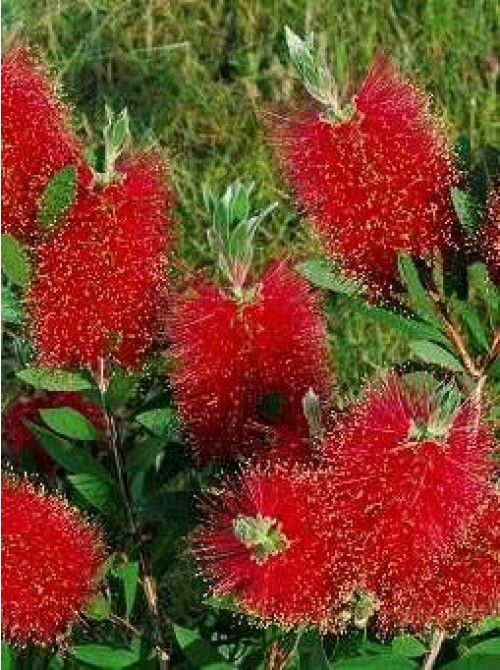 Callistemon c 5 6l pot deco les plantes for Les plantes exterieur