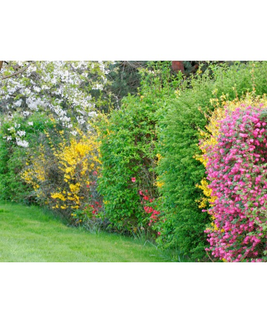Arbuste de haie variee pot 1 3l les arbustes les plantes d 39 ext rieur jardin for Plante arbuste exterieur