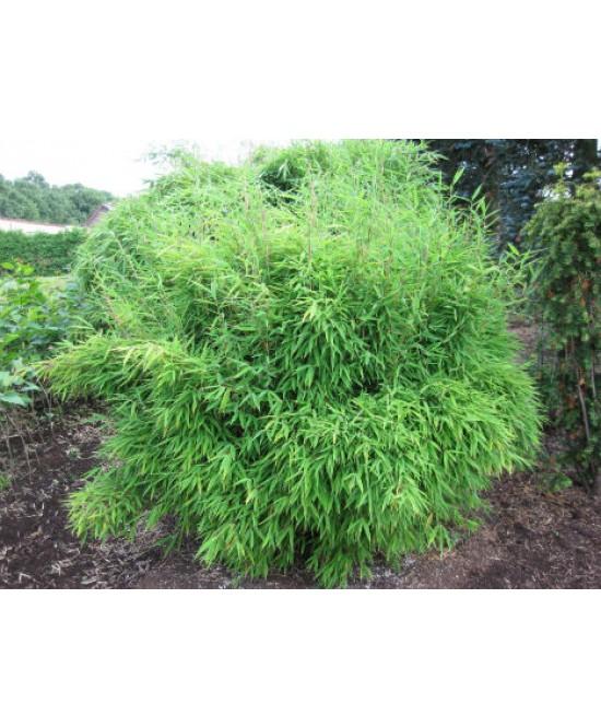 Bambou parapluie c 7l les plantes d 39 ext rieur jardin for Plante bambou exterieur