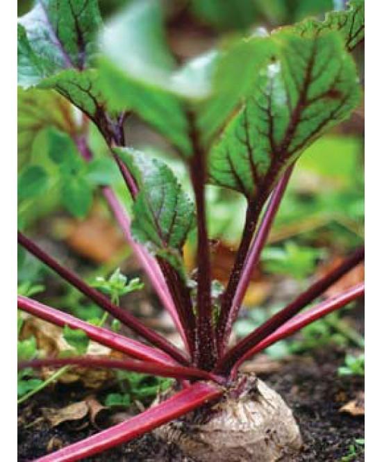 betterave rouge nobol barquette de 12 mottes les plantes. Black Bedroom Furniture Sets. Home Design Ideas