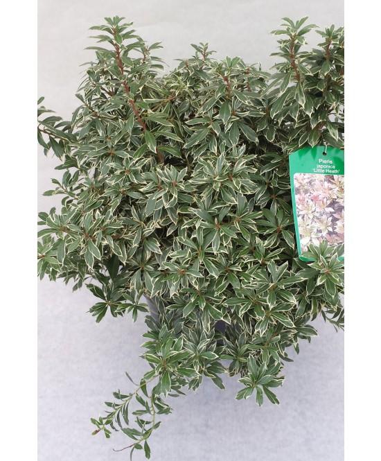 Pieris C 3l Les Arbustes Les Plantes D 39 Ext Rieur Jardin