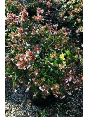Abélia grandiflora C.3L
