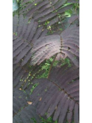 ALBIZIA JULIBRISSIN SUMMER CHOCOLATE S0147916