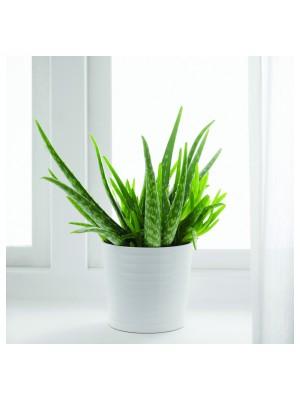 Aloé Vera - Pot Ø 14cm