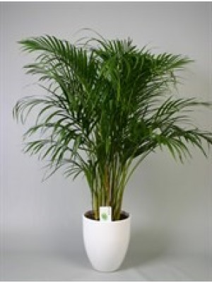 Areca dypsis lutescens