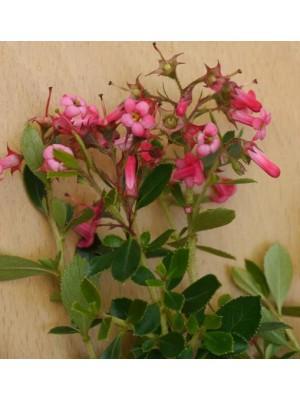 Escallonia macrantha rubra