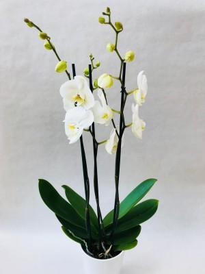 Orchidée 2 branches