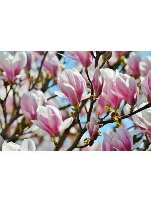 Magnolia  soulangeanna