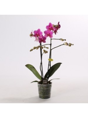 ORCHIDEE PHALAENOPSIS POT Ø 12CM - 2 BRANCHES