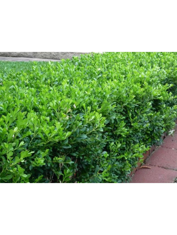 Arbuste Persistant En Pot Plein Soleil buis pot Ø 9cm