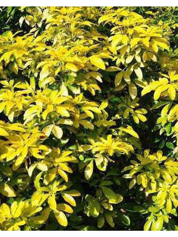 Arbuste Persistant En Pot Plein Soleil choisya ternata lich sundance pot Ø19cm