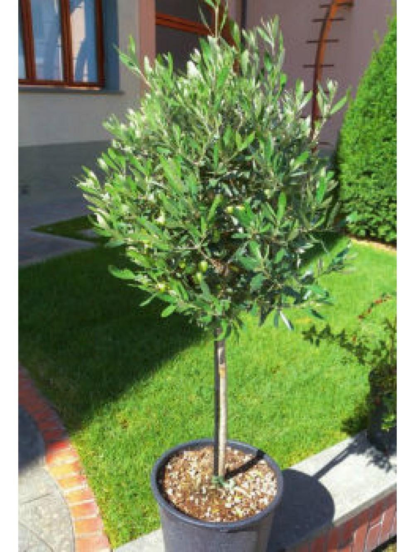 OLIVIER TIGE 0.90 CM - Les Plantes \'Méditerranéennes\' - Les Plantes ...