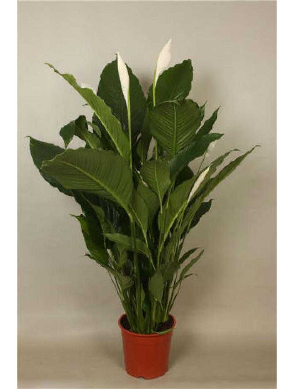 Plantes Fleuries En Pot Exterieur spathiphyllum verdi pot Ø 17cm