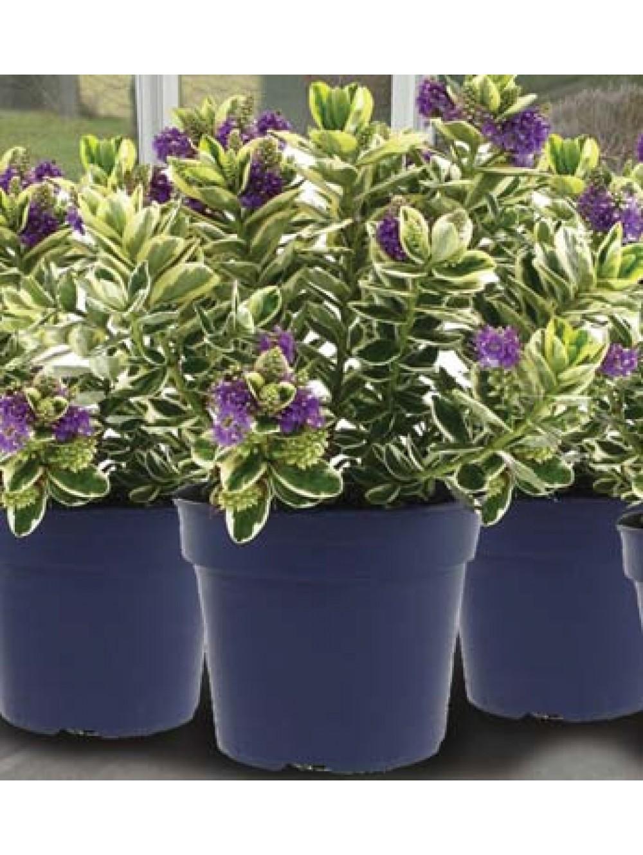 Plantes Fleuries En Pot Exterieur veronique panachee pot Ø 15cm