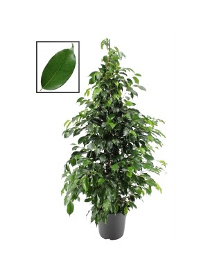 Ficus Danielle Pot Ø 25cm