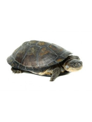TORTUE PELUSIO - TORTUE D'EAU