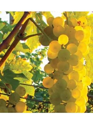 Vigne Chasselas doré